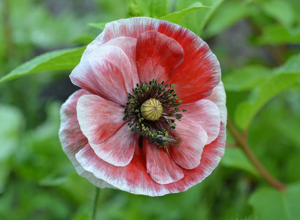 Семена многолетних цветов бесплатно
