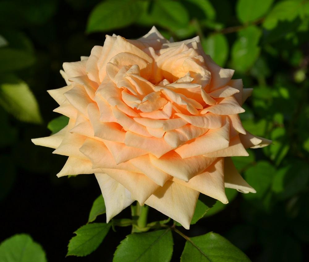1 TALEA di Piaranthus geminatus YELLOW FLOWER stapelia ORCHIDEA DEL DESERTO